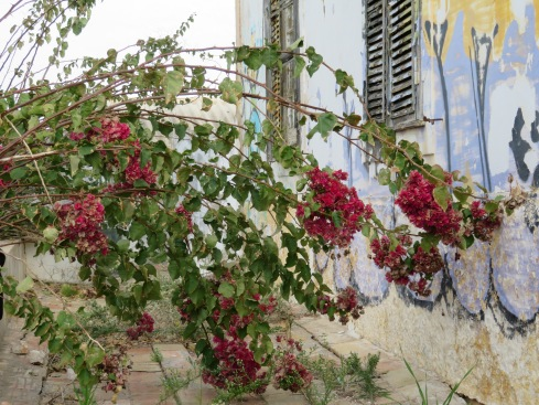 This dark bougainvillea caught my eye against the faded blue and white of the house.