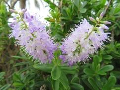 This hedge was covered in these gorgeous delicate looking flowers. Scentless but beautiful.