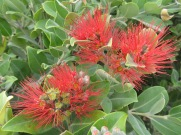 A large hedge of this, similar to a bottle brush in colour and texture, but completely different when looking at it. More like clusters of spiny flowers.