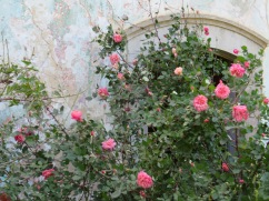 This lightly scented but glorious rose bush is growing in the midst of an abandoned building. The colours of the roses against the decaying walls was quite fetching to the eye.