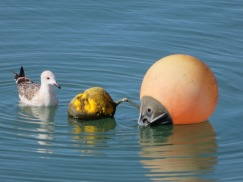 This gull was frantically trying to eat this yellow buoy!!