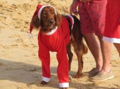 A canine Santa.