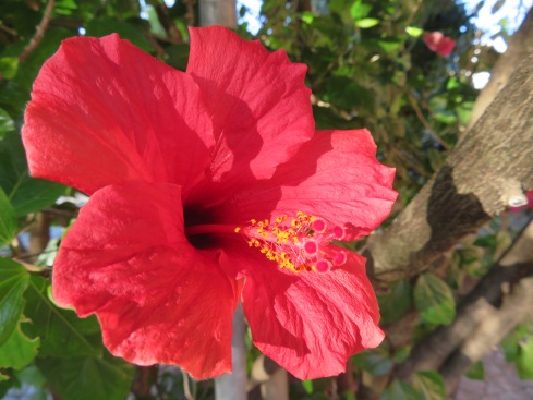 This magnificent hibiscus plant is beside our patio.