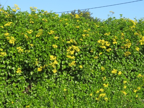 An enormous wall of this beautiful hedge, covered in clusters of yellow flowers was hugging the wall as we climbed Sao Miguel.