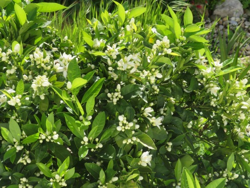 We smelled this long before we saw it. An orange tree in full bloom. Intoxicating.