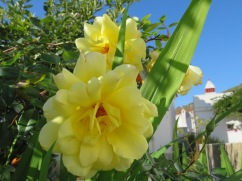 These yellow roses right next to the creche....delicate scent.