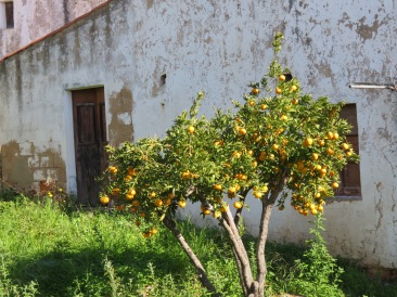Orange trees are everywhere in this village.