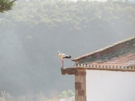 This stork was clacking away to try and attract his mate.