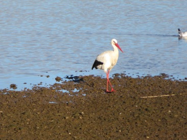 The ubiquitous stork searching for a snack.