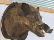 The ubiquitous wild boar.