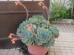 This succulent was quite lovely with it's gently swaying blooms.
