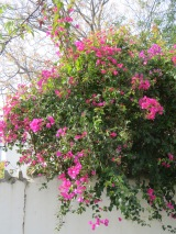 The sunlight was making this bougainvillea shimmer with light.
