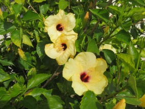 An enormous yellow hibiscus in full bloom.