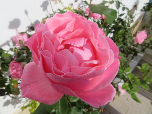 December is one of the months where roses are in abundance here. The sweet subtle smell was lovely.