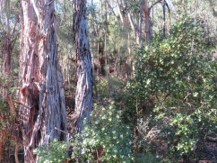 You can see the medronho trees tucked in around the eucalyptus.