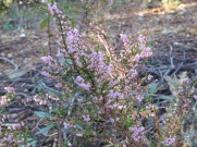 We came across several patches of heather still in bloom.