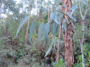 This new eucalyptus tree had such a lovely colour of leaves. Apparently there are many varieties and they are different colours.