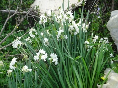 You could smell the paperwhites long before we could see them. Heavenly.