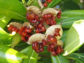 This looks like tiny fruit but is growing on the oleander plant.