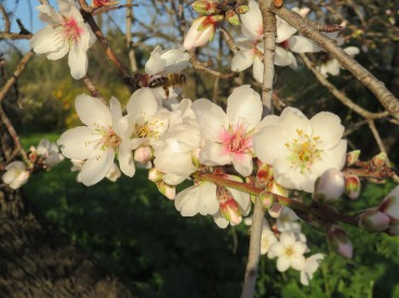 The almond flowers are bursting and in places the trees are simply glorious. Another week and they will all be open.