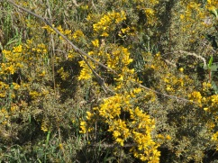 The broom is already blooming and this is quite high in the mountain where it gets cool at night.
