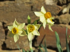 A garden full of these gorgeous tinyNarcissus daffodils