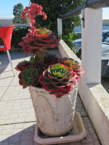 This beautiful succulent was in bloom. Right next to our table on the patio.