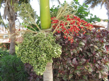 This large cluster of green fruit on the palm tree will turn red like the smaller cluster.