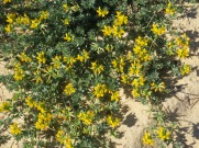 This very small and low to the ground succulent is abundant right now. All through the dunes are splashes of yellow.