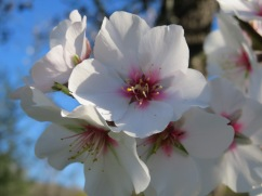 And speaking of almond flowers. Each blossom a tiny piece of art.