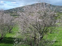 Gorgeous almond trees, soon they will be done and with that in mind, I enjoy them while I can.