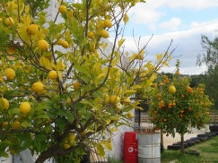 I appreciated the visual effect of the lemon and orange trees so close to each other.