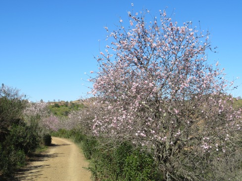 Along one of the dirt tracks.....almond trees lining the route.