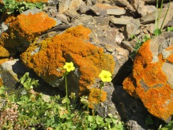 Lichen on the rocks, the colour competing with the flowers.