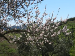 The almond flowers range from vivid pink, bright white and a grayish white.