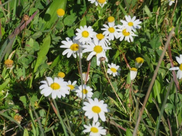 Tiny daisies all along the dirt tracks.