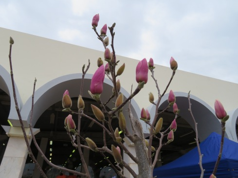 The magnolias are opening.