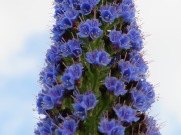 A close-up of the tall blue plant that I have yet to identify. Just look at the detail of each tiny little blossom.