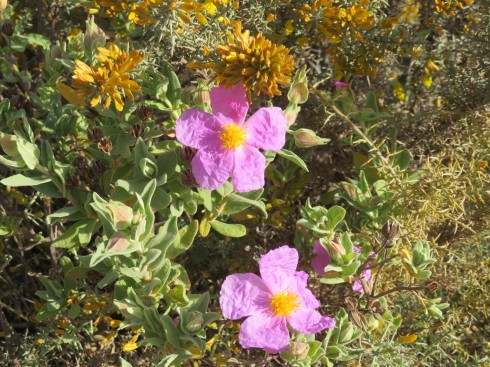 The mountainside was ablaze with this paper thin and wonderfully coloured cistus. Everywhere you looked.