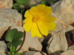 This little yellow blossom was in various stages of opening up and down the mountain slope. Beautiful
