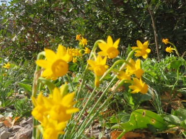 These tiny little daffodils, miniature, were dancing wildly in the breeze. Very difficult to capture a photo without a blur.