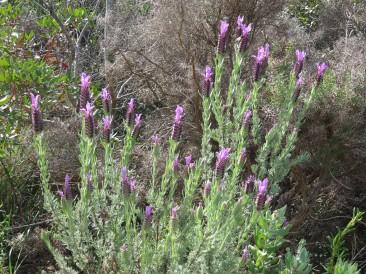 The lavender is bursting everywhere.