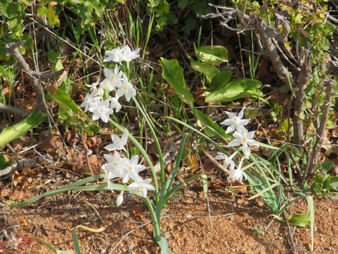 All along the route down the mountain, paperwhites......on both sides of the road.