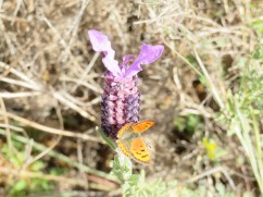 I was happy I captured this tiny butterfly as I am having problems with my camera.
