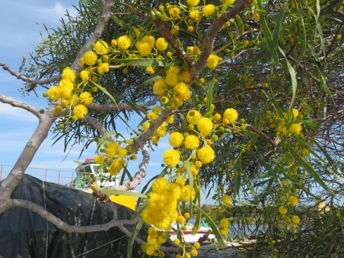 The acacia (mimosa) is in bloom, at least starting to bloom. I love this tree, it reminds me of pom poms or popcorn!