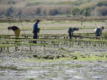 These folks work hard. The farmed oyster beds.