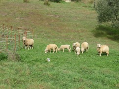 We started off our hike with this flock of sheep, grazing on the sloped hillside. Very curious.