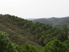 Orchards of umbrella pines dotting the hillsides and offering a wonderful scent.
