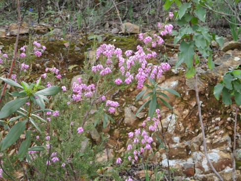 I think this is heather but am not certain. The hillside was full of it, various size bushes.