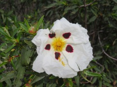 The Gum Cistus are starting to bloom.